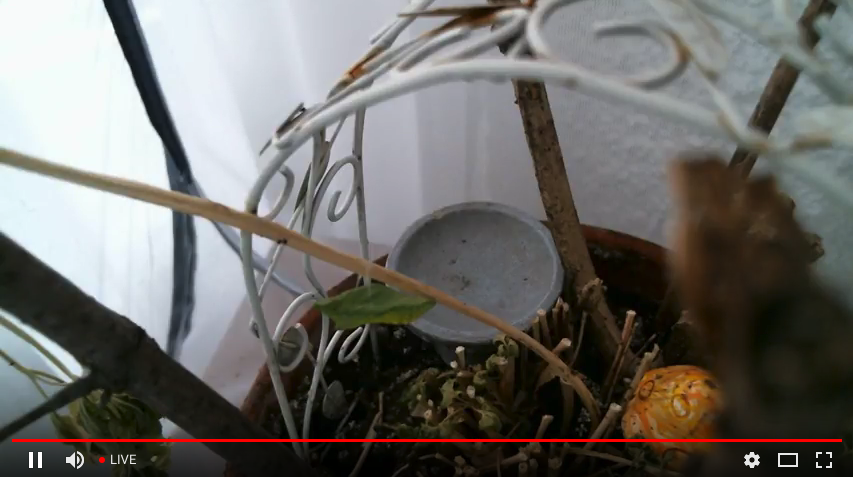 watch a caterpillar become a butterfly on a live web cam.